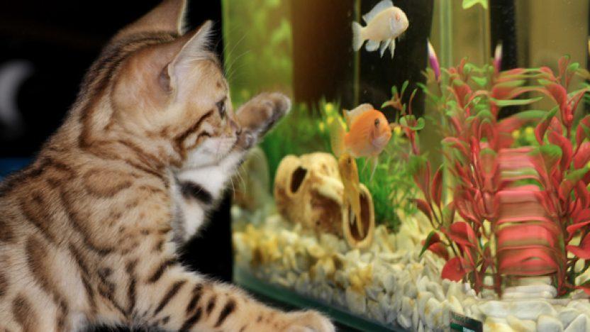 Kattunge leker med akvarium